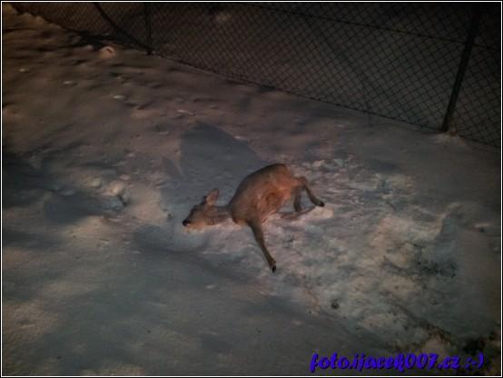 mrtvá srnka zůstala po srážce ležet na krajnici u cesty