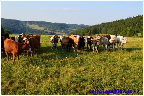 Stádo krav na pastvině nad obcí.