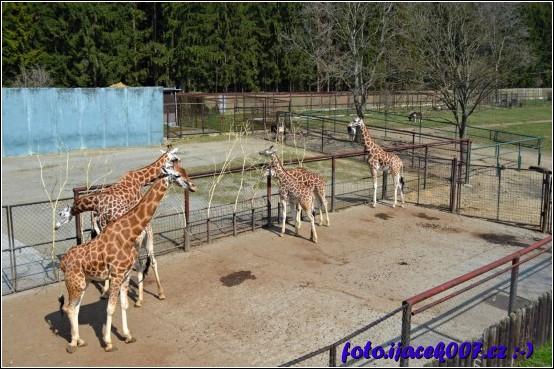 pohled do výběhu žiraf