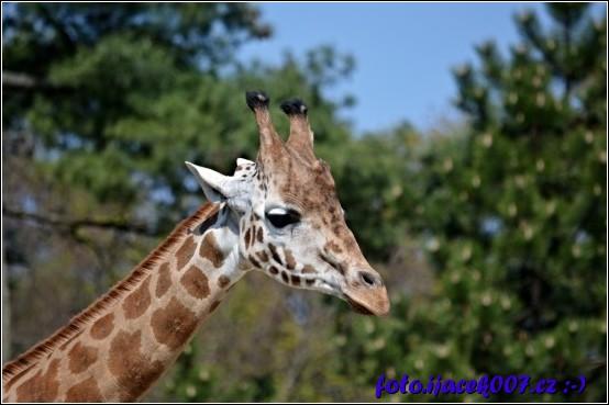 fotka nádherné žirafy