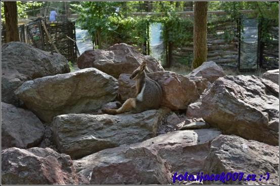 obrázek klokan